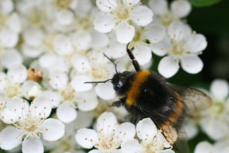 Buff tailed bumblebee - copyright Penny Frith