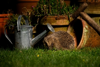 Photo of hedgehog in garden