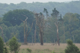 Osprey nest pine tree and woodland