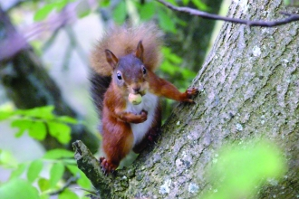 Red squirrel at Smardale Nature Reserve