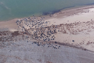 Image of grey seals at South Walney Nature Reserve taken by drone March 2019