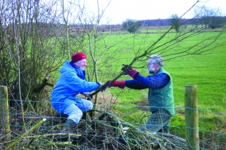 Volunteers hedge laying Bowness on Solway