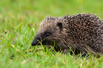 hedgehog in green grass copyright Vaughn Matthews