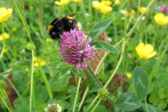 Image of bee on red clover copyright Lee Schofield