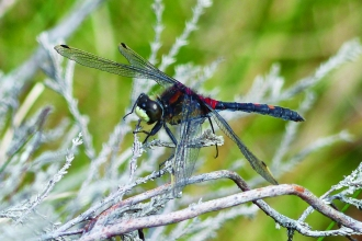 Image of white-faced darter © David Clarke