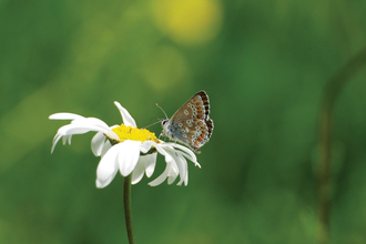 June 2018: Northern brown argus butterfly by Mike Warren