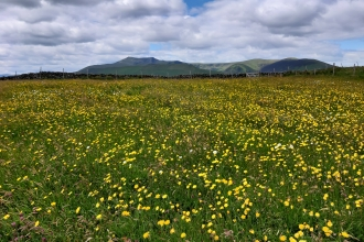 Hay Meadows at Eycott Hill Nature Reserve with Blencathra in the distance