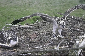 Foulshaw osprey chicks of summer 2019 in the nest at foulshaw moss nature reserve