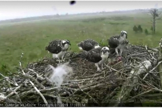 ospreys on nest - family portrait 2019