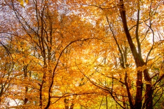 Autumn beech trees woodland - copyright Don Sutherland