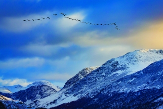 Geese above Crummock Water