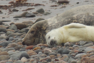 Grey seal pup relaxes with mum