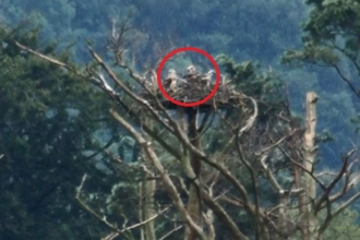Osprey chicks in nest 2017