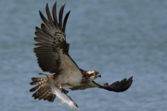 Osprey in Senegal