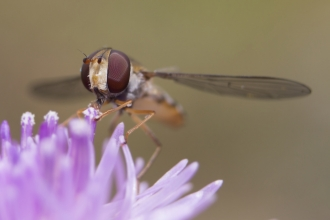 Hoverfly pollinating a flower
