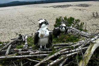 Image of Foulshaw Moss ospreys Blue 35 and White YW