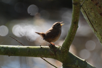 Image of wren singing © Stewart MacDonald