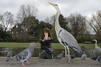 Person using phone to photograph heron