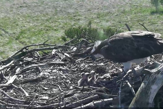 Image of osprey with chicks at Foulshaw Moss May 2020