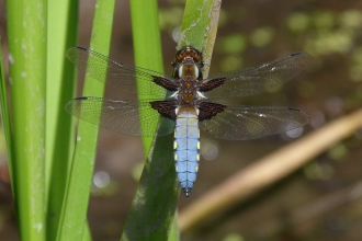 A male Broad-bodied chaser dragonfly © David Clarke