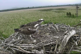 Image of Foulshaw Moss ospreys from web cam