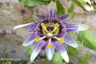 Passion flower photo Kevin Line