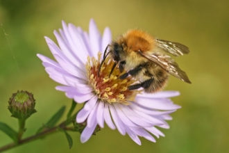 Image of carder bee © Rachel Scopes