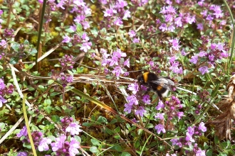 Dune flora and bumblebee at South Walney Nature Reserve