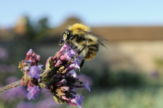 Image of common carder bumblebee © Nick Upton/2020VISION