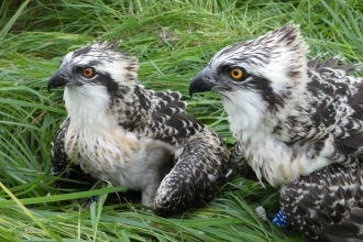 Image of Foulshaw osprey chicks at ringing July 2020
