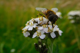Buzzing around yarrow © Oscar Adams