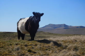 A Belted Galloway on Eycott © Oscar Adams