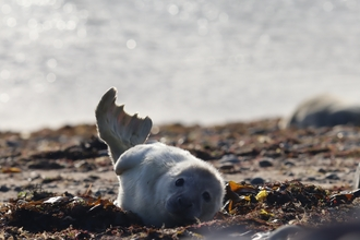 Image of first seal pup at South Walney Nature Reserve 5 October 2020 © Cumbria Wildlife Trust