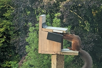 Caught in the act (Red squirrel feeder sensor) ©Eugene Lambert