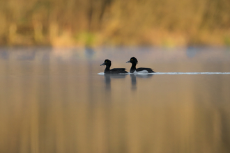 Image of tufted ducks © Jon Hawkins - Surrey Hills Photography