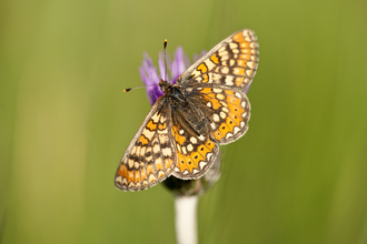 Image of marsh fritillary butterfly © Ross Hoddinott 2020VISION