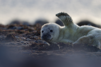 Image of first seal pup at South Walney Nature Reserve 5 Oct 2020 © Cumbria Wildlife Trust