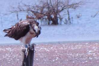 Image of Foulshaw Osprey V8 in The Gambia Jan 2021 © Fansu Bojang