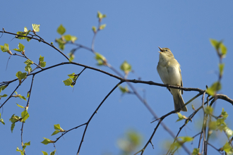 A willow warbler singing on a tree branch