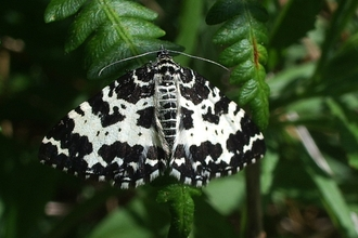 Image of argent and sable moth credit Martin Chadwick