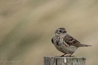North Walney Skylark