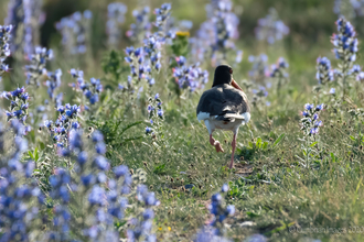 Oystercatcher walking in viper's bugloss