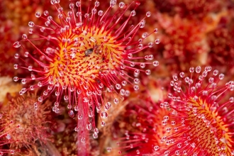 Close up of round-leaved sundew