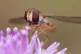 Hoverfly near flower © Chris Lawrence
