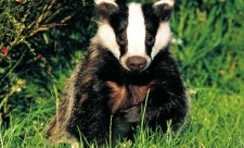 image of a badger sitting in green grass