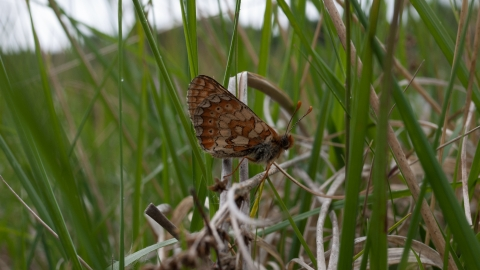 Marsh fritillary on purple moor-grass and rush pasture