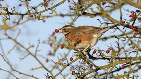 Redwing with hawthorn berry
