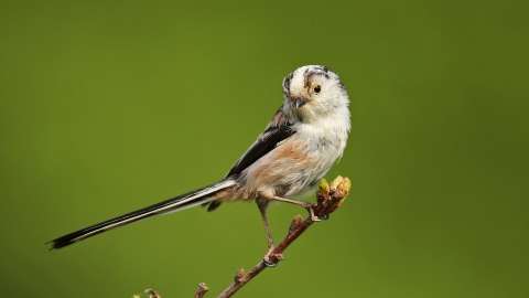 Long-tailed tit   Cumbria Wildlife Trust