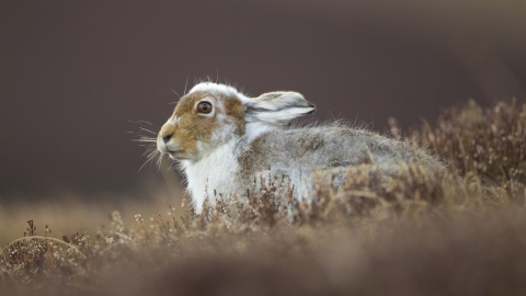 Mountain hare moulting