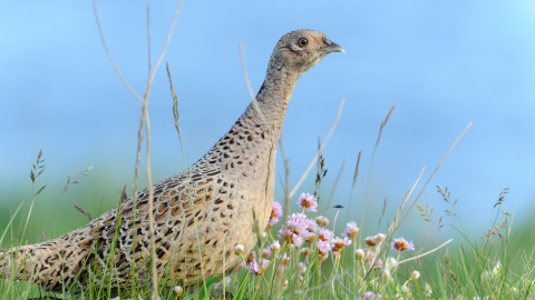 Pheasant female